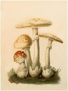 Botanical Mushrooms Download