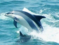 Atlantic white-sided dolphin, 	Lagenorhynchus acutus