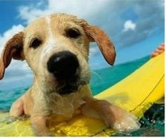 little surfer (why no life jacket?? they are available for dogs of all sizes)