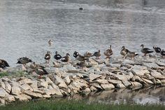 Spot billed ducks @Kaikondrahalli lake, Sarjapur road, Bangalore