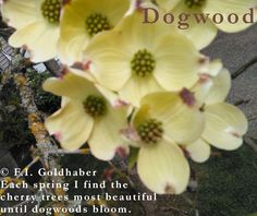 """""""Dogwood,"""" first published online by Form.Reborn and in print in *On A Narrow Windowsill.* Poem and photograph © F.I. Goldhaber. http://goldhaber.net/poetry.php#Others"""