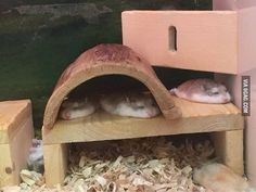 Sleeping hamsters are flat like pancakes. #hamster#pancake#9gag @9gagmobile