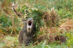This mighty stag proves he's truly king of the forest with a crown of leaves. (Photo by Geg Morgan/Solent News