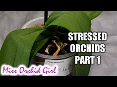 Rejuvenating stressed Orchids Part 1 - Limp, leathery leaves - YouTube