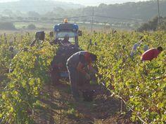 Vendimiando uva de la variedad Monastrell en Finca Espolla. Mountains, Nature, Travel, Wine Cellars, Growing Up, Naturaleza, Viajes, Destinations, Traveling