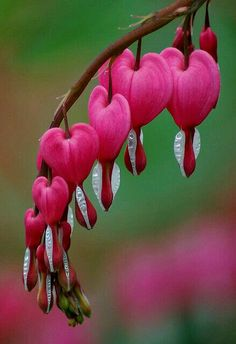 """BLEEDING HEART FLOWER ♥  The history of the Bleeding Heart~ the ( Dicentra spectabilis """" bleeding Heart"""")  is a perrenial plant native to Japan. The plant is noted for showy flowers of red,  pink & sometimes white in color.  The flowers hang down from arching stems that grow to 2 feet.  The flowers hangs like a drop from the red petals & its shape suggest the bleeding Heart image. Gardeners often tell stories & legends about this plant's meaning. Most center on a tender or bleeding Heart."""