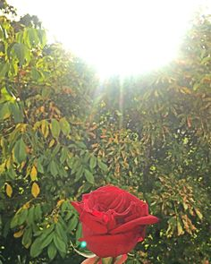 Autumn. Rose.