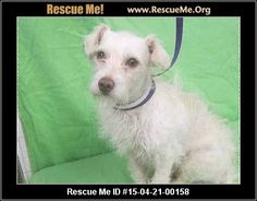 Urgent: This animal could be euthanized if not adopted soon. Animal ID: A4811066Terrier Mix (male) Maltese Mix Age: Puppy Compatibility: Good with Most Dogs, Good with Kids and Adults Personality: Average Energy, Average Temperament Health: Needs to be Neutered, Vaccinations Current This sweet poodle terrier mix male with perhaps some maltese was dumped by his owner at the high kill shelter on 3/24. He is only 2 years old and has a non shedding haircoat so is great for people with allergies…