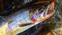 Bridget Moyer #yellowstone #nationalpark #fish #flyfishing #trout #rainbow