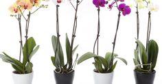 Las hermosas orquídeas