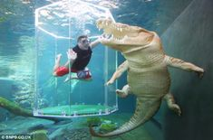 croc cage diving adventures in Australia--fun! I'd die if I see that big croc swimming towards me.