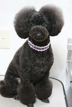 Asian Style Grooming, I love this dogs hair cut