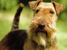 welsh terrier: beaver