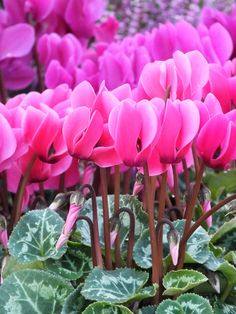 cyclamen is my favorite fall and winter annual The Pink Pagoda: My Annual Cyclamen Post