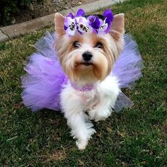 The Hottest Hairstyles for Your Dogs Biewer Yorkie, Teacup Yorkie, Yorkie Puppy, Yorkies, Pomeranian Dogs, Havanese, Girl Dog Clothes, Yorkie Clothes, Cute Puppies