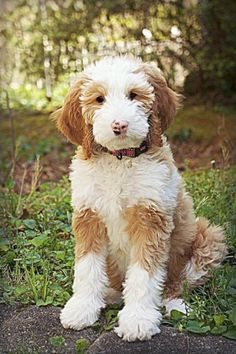 This is a Belladoodles Goldendoodle! #goldendoodle http://doggiewoof.com/goldendoodle-grooming/