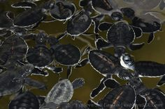 Baby Sea Turtles in a Sea Turtle Hatchery in Sri Lanka