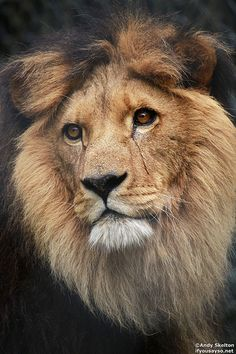 Lion by Andrew Skelton Photography http://andrewskelton.net.