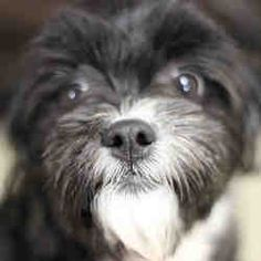 Fort Wayne, Indiana - Shih Tzu. Meet MOLLY, a for adoption. https://www.adoptapet.com/pet/21321634-fort-wayne-indiana-shih-tzu-mix