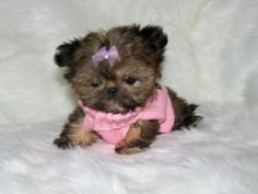 Shih Tzu Puppies in Utah Shitzu Puppies, Mini Puppies, Havanese Dogs, Puppies And Kitties, Shih Tzu Puppy, Shih Tzus, Baby Puppies, Cute Puppies, Cute Dogs