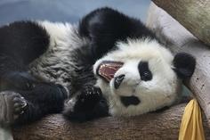 panda is so ticklish