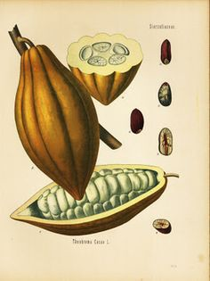 Botanical illustration of #cacao pod from the theobroma tree - Koehler's Medizinal Pflanze (1887)