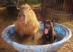 Cheesecake the capybara cools off in a paddling pool with canine friend Paul. (capybara, dog)