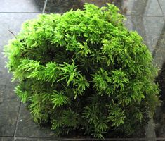 Palm Moss 12x12x12 inch case: In this case you will get many mounds of Palm moss that fill a 12x12 x12 inch case. Palm Moss is a very unique moss that looks like little palm trees growing in a mound about 5 inches high and a hands width wide to 12 inches wide. It comes in nice mounds