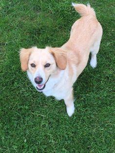 Can you help find missing #Kooikerhondje cross Summer? #dogs #missing
