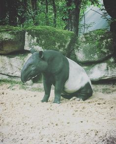 Hallo #tapir