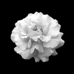 26 best pictures of flowers in black white images on pinterest black and white flower rose a close up isolated on a black background mightylinksfo
