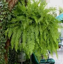 Resultado de imagen para helechos Potted Plants, Cactus Plants, Hanging Ferns, Easter Brunch, Gardening, Tree Fern, Gardens, Vases, Ferns