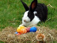 Ein Hase sitzt hinter einem Nest mit gefärbten Eiern. Davor steht ein Küken. (Bild: dpa Picture-Alliance) Rabbit, Animals, Grand Entrance, Easter Bunny, Easter Activities, Kids, Bunny, Rabbits, Animales