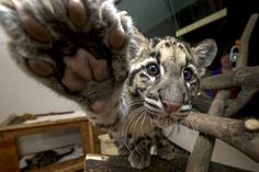 Haui-san, a 14-week-old clouded leopard, reaches out for the camera at the San Diego ZooPicture: AFP PHOTO / SAN DIEGO ZOO / Ken BOHN