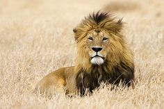 Awesome - lion  .....