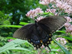 Attracting Butterflies and Other Welcome Insects to Your Garden: From Butterfly Bush to Butterfly Weed
