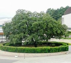 Fatima Shrine - Holm oak tree where the 3 shepherds used to rest while tending the flock in 1917