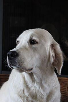 Golden retriever Doenja, my sweet dog!