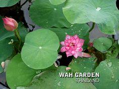 Fen Jing Ling lotus 3 | by Klong15 Waterlily Jing Ling, Nelumbo Nucifera, Water Lilies, Lotus, Plant Leaves, Plants, Lotus Flower, Plant, Lily