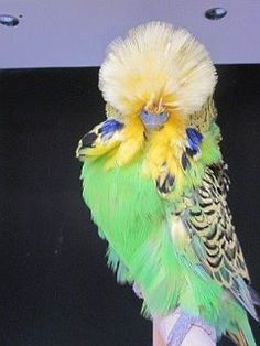 Pics For > Budgie Parakeet Colors