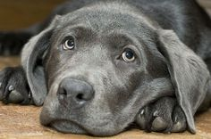 Silver Labrador with his head on his paws. Looking very thoughtful