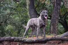 Dutch Shepherd Dog, Working Dogs, Animals And Pets, War, Holland, Pastor, Dogs, Pets, Service Dogs