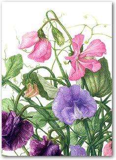 Heather Raeburn Botanical Prints & Greeting Cards | Sweet Pea 1 | A6 Greetings Cards | Heather Raeburn Inspirations