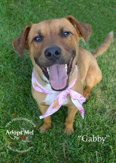 Meet Gabby, a Petfinder adoptable Shepherd Dog   Detroit, MI   Gabby was recently rescued from a life of being chained to a cinder block as a 24/7 outdoor dog....