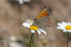 Lycaena phlaeas by IrfanDemirel