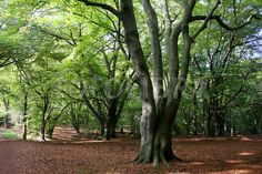 forest tree - Google Search