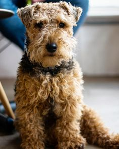 Matching a puppy breed with a personality type takes a little research and insight. What characteristics of a dog breed are best suited for a new owner or an owner? Hound Breeds, Puppy Breeds, Hound Dog, Welsh Terrier, Scottish Terrier, Yorkshire Terrier, Terrier Puppies, Terriers, Best Guard Dogs