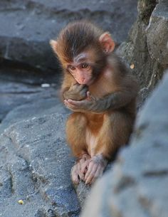 "lolcuteanimals: "" Baby, Snow Monkey by navonco on Flickr. """