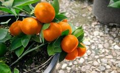 Tips on growing citrus in South Texas| Milberger's Landscape & NurseryMilberger's Landscape & Nursery
