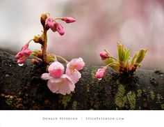Cherry Blossoms In The Making
